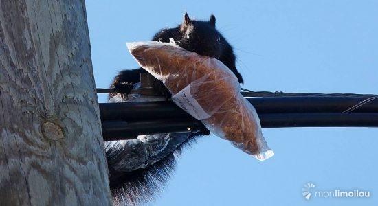 Regards sur la nature limouloise : l'écureuil, aussi apprécié que mal-aimé - Jean Cazes