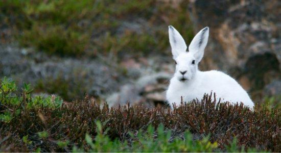 Cabaret scientifique   Lièvres arctiques et autres mammifères du Grand Nord